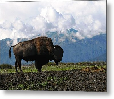 Metal Print featuring the photograph Alaskan Buffalo by Katie Wing Vigil
