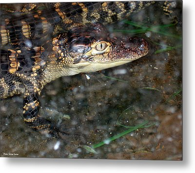Alligator Metal Print by Suhas Tavkar