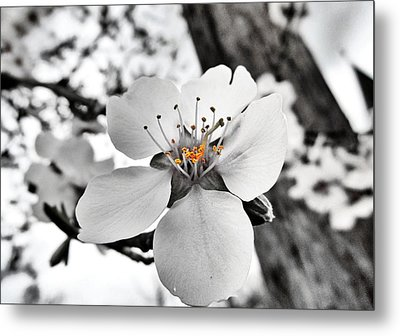 Almond Blossom Metal Print by Marianna Mills