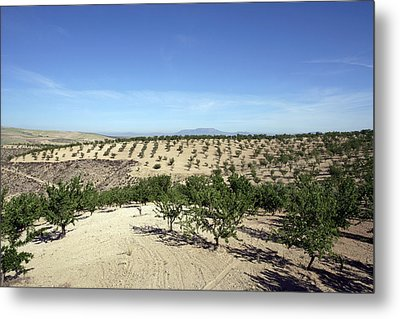 Almond Plantation Metal Print