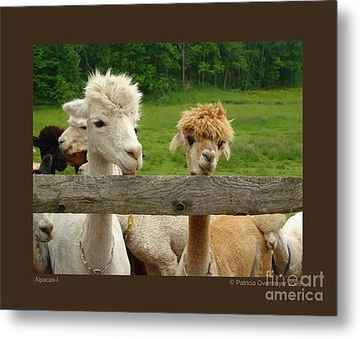 Metal Print featuring the photograph Alpacas-i by Patricia Overmoyer