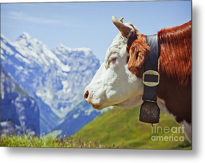 Alpine Cow Metal Print by Greg Stechishin
