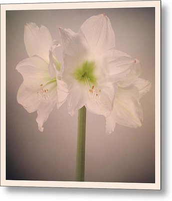 Amaryllis Flowers Metal Print by Nathan Blaney