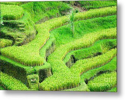 Metal Print featuring the photograph Amazing Rice Terrace Field by Luciano Mortula