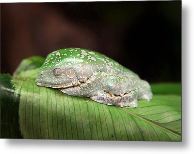 Amazon Leaf Frog Metal Print