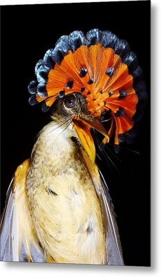 Amazonian Royal Flycatcher Metal Print by Dr Morley Read