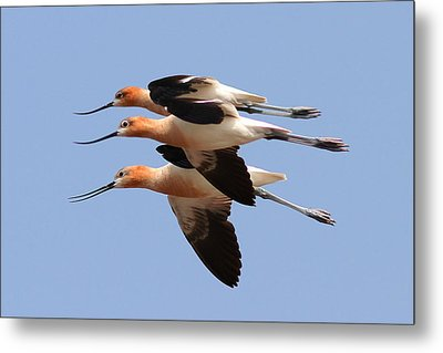 American Avocets Metal Print by Phil Lanoue