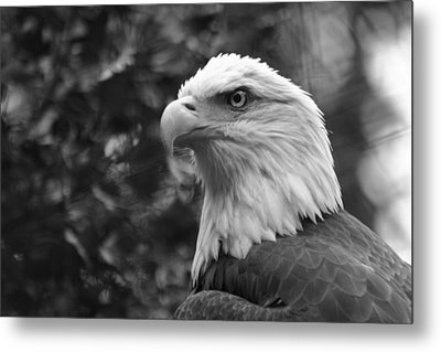 American Bald Eagle Metal Print by David Rucker