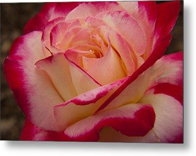 American Beauty Rose Metal Print by Darleen Stry