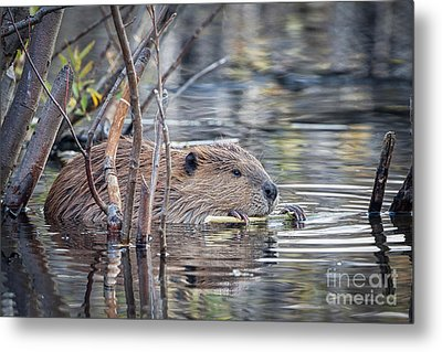American Beaver Metal Print by Ronald Lutz