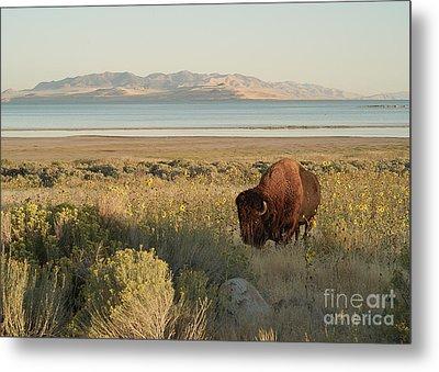 Metal Print featuring the photograph American Bison Antelope Island Utah by Doug Herr