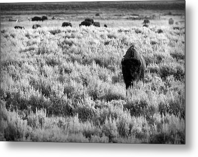 American Bison In Black And White Metal Print by Sebastian Musial