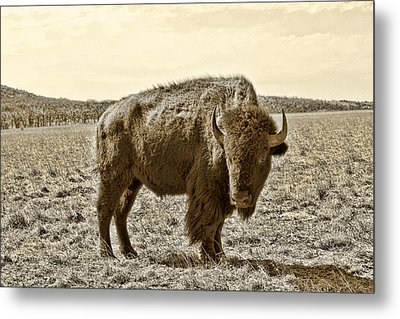 American Bison In Gold Sepia - Left View Metal Print by Tony Grider