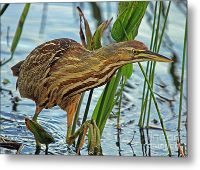 Metal Print featuring the photograph American Bittern by Larry Nieland