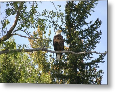 American Eagle Metal Print by Living Color Photography Lorraine Lynch
