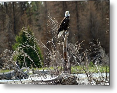 American Eagle On Snake River Metal Print by Living Color Photography Lorraine Lynch