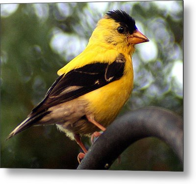 Metal Print featuring the photograph American Goldfinch by Laurel Talabere