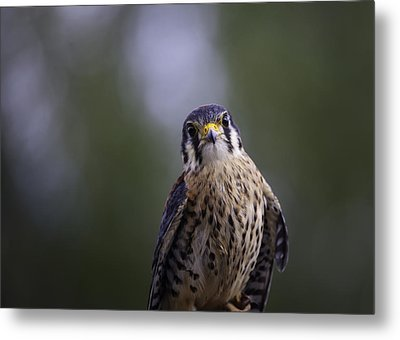 American Kestrel Metal Print by Richard Lee