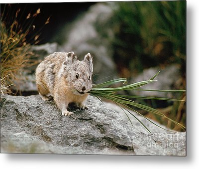 Metal Print featuring the photograph American Pika by Doug Herr