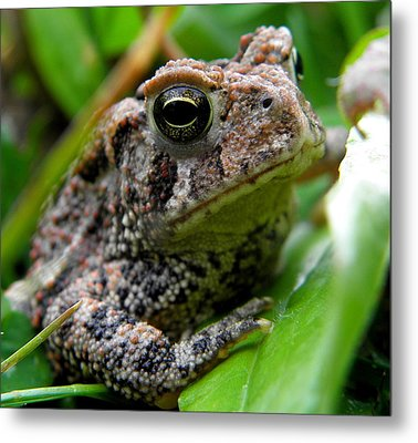 American Toad Metal Print by Griffin Harris