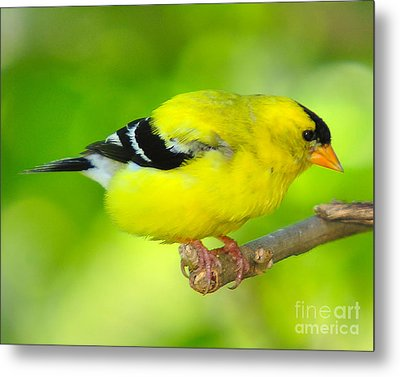 Metal Print featuring the photograph American Yellow Finch by Jack Moskovita