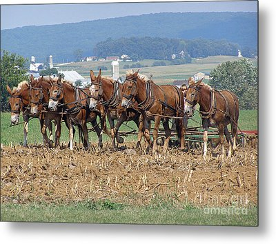 Amish Working Team  Metal Print by Louise Peardon