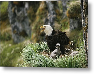 An American Bald Eagle And Young Metal Print by Klaus Nigge