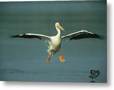 An American White Pelican In Flight Metal Print by Klaus Nigge