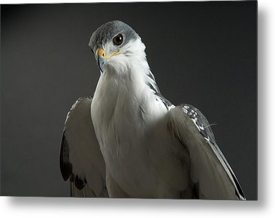 An Auger Buzard Buteo Auger At Denver Metal Print by Joel Sartore