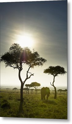 An Elephant Walks Among The Trees Kenya Metal Print by David DuChemin