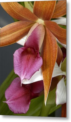 An Orchid, Probably A Cattleya Hybrid Metal Print by Stephen Sharnoff