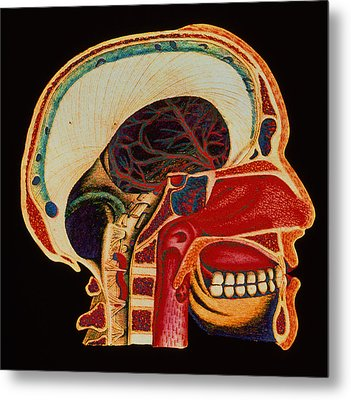 Anatomy Of Head Metal Print by Mehau Kulyk