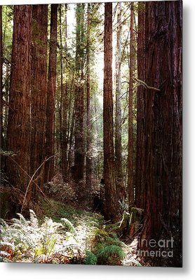 Ancient Redwoods And Ferns Metal Print by Laura Iverson