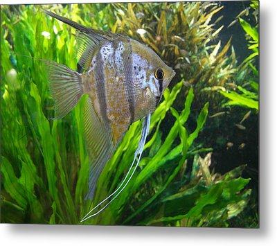 Angel Fish Metal Print by Tanya Moody