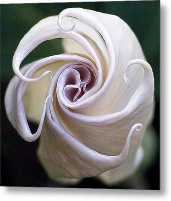 Angel Trumpet Blooms Metal Print by Diane Giurco