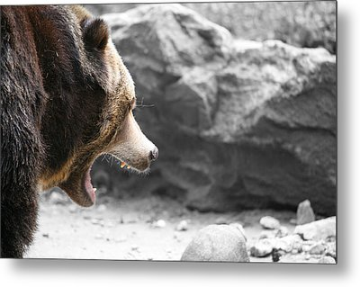 Angry Grizz Metal Print by Karol Livote