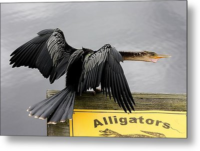Anhinga Looking For Alligators Metal Print by Paulette Thomas