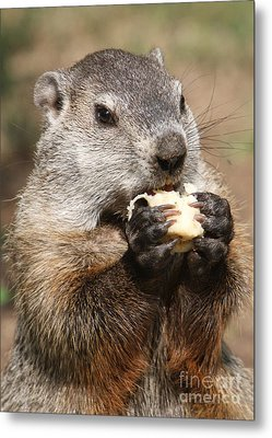 Animal - Woodchuck - Eating Metal Print by Paul Ward