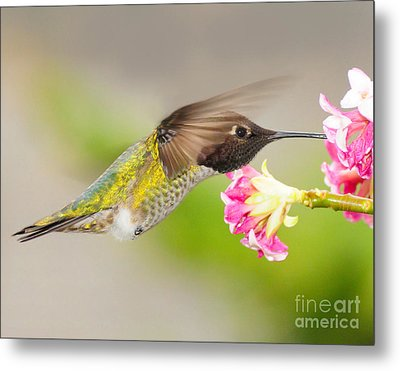 Metal Print featuring the photograph Anna Hummingbird by Jack Moskovita