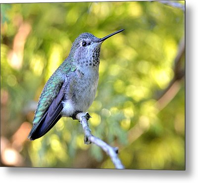 Metal Print featuring the photograph Anna's Hummingbird by Kathy King
