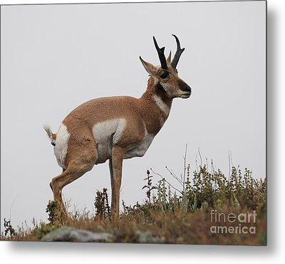 Antelope Critiques Photography Metal Print by Art Whitton