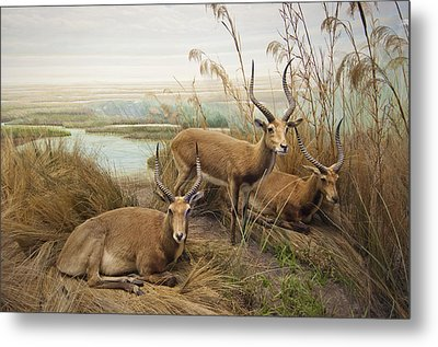 Antelope In The Grass Near The River Metal Print by Laura Ciapponi