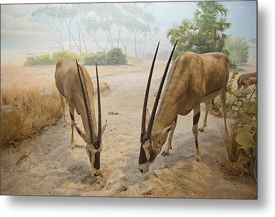Antelope In The Sand With Their Heads Metal Print by Laura Ciapponi