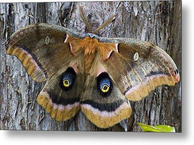 Antheraea Polyphemus Polyphemus Moth  Metal Print