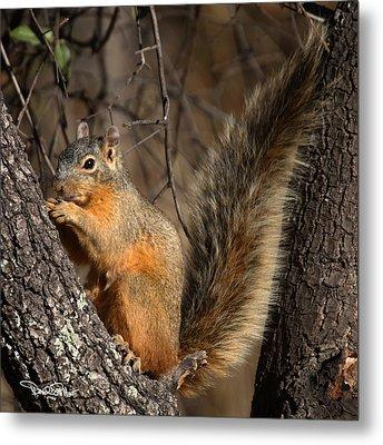 Apache Fox Squirrel Metal Print by David Salter