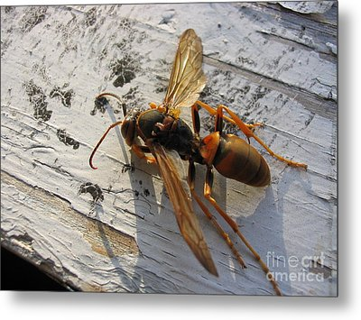 Apache Red Wasp Metal Print by Mark Robbins