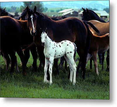 Appaloosa Foal White Spotted Metal Print