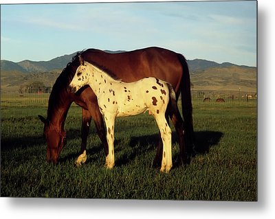 Appalossa Colt With Mother Metal Print