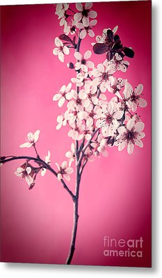 Apple Blossoms Metal Print by HD Connelly