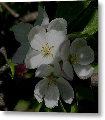 Metal Print featuring the photograph Apple Blossoms by Karen Harrison